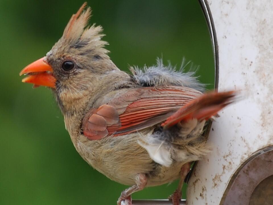 backyard birds indianapolis
